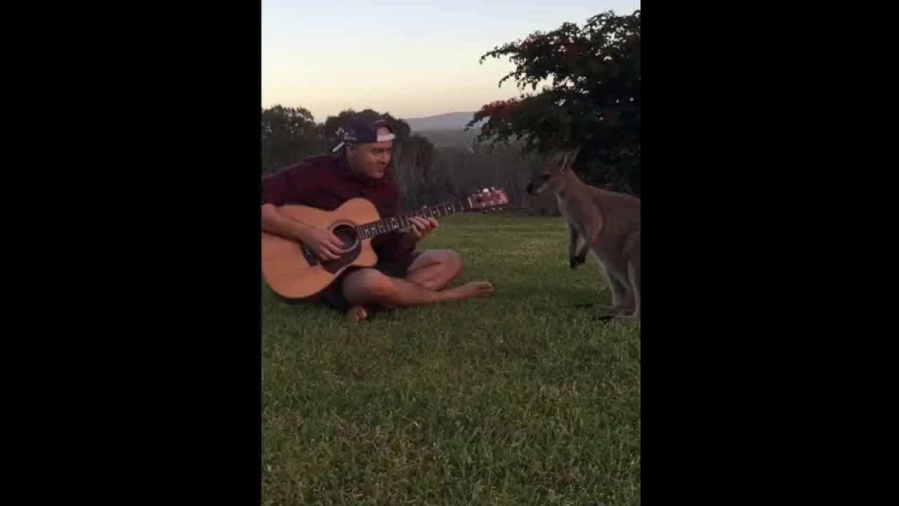 Classical guitar has no effect on a female wallaby